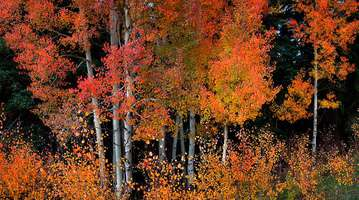 TEN ALARM ASPENS