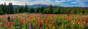 FIELDS OF INDIAN PAINTBRUSH